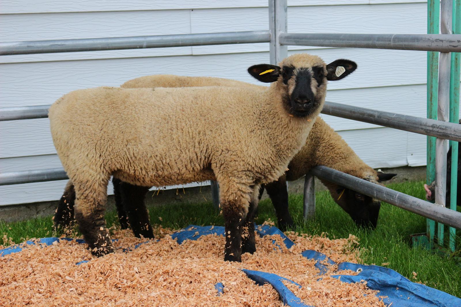 SH - Sheep -