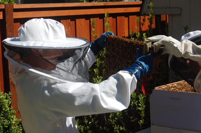 Alison inspecting a hive frame - the structural element that holds the honeycomb.