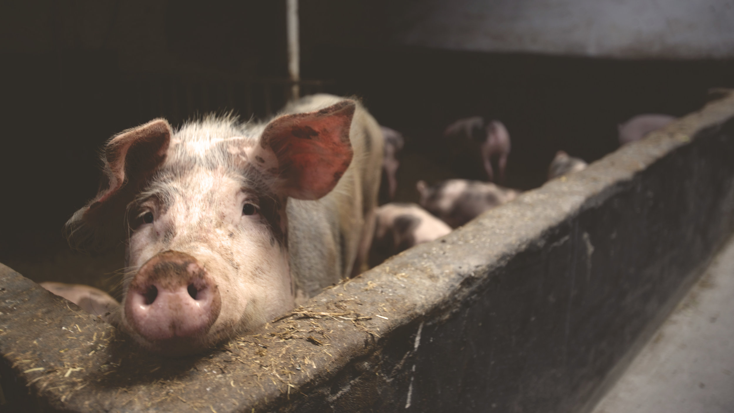 About 99 percent of the meat Americans eat comes from factory farms, where pigs typically live in pens so small they can barely turn around.