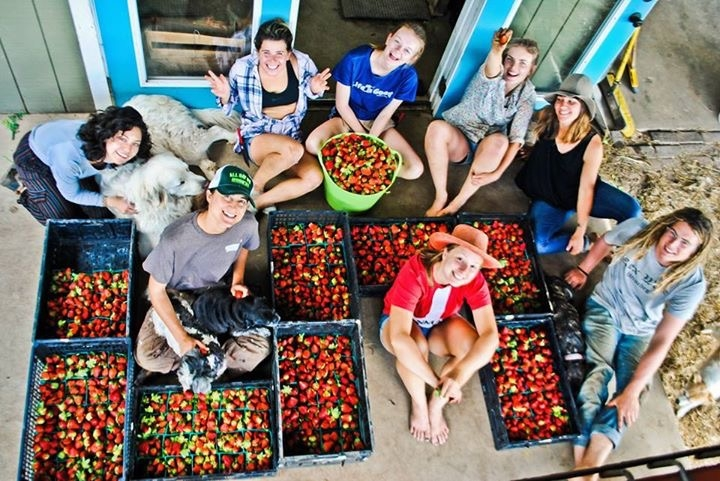 One of the farm's biggest strawberry harvests. Strawberries are very labor-intensive. The crew spends hours picking in the field during peak season because people go crazy for them.
