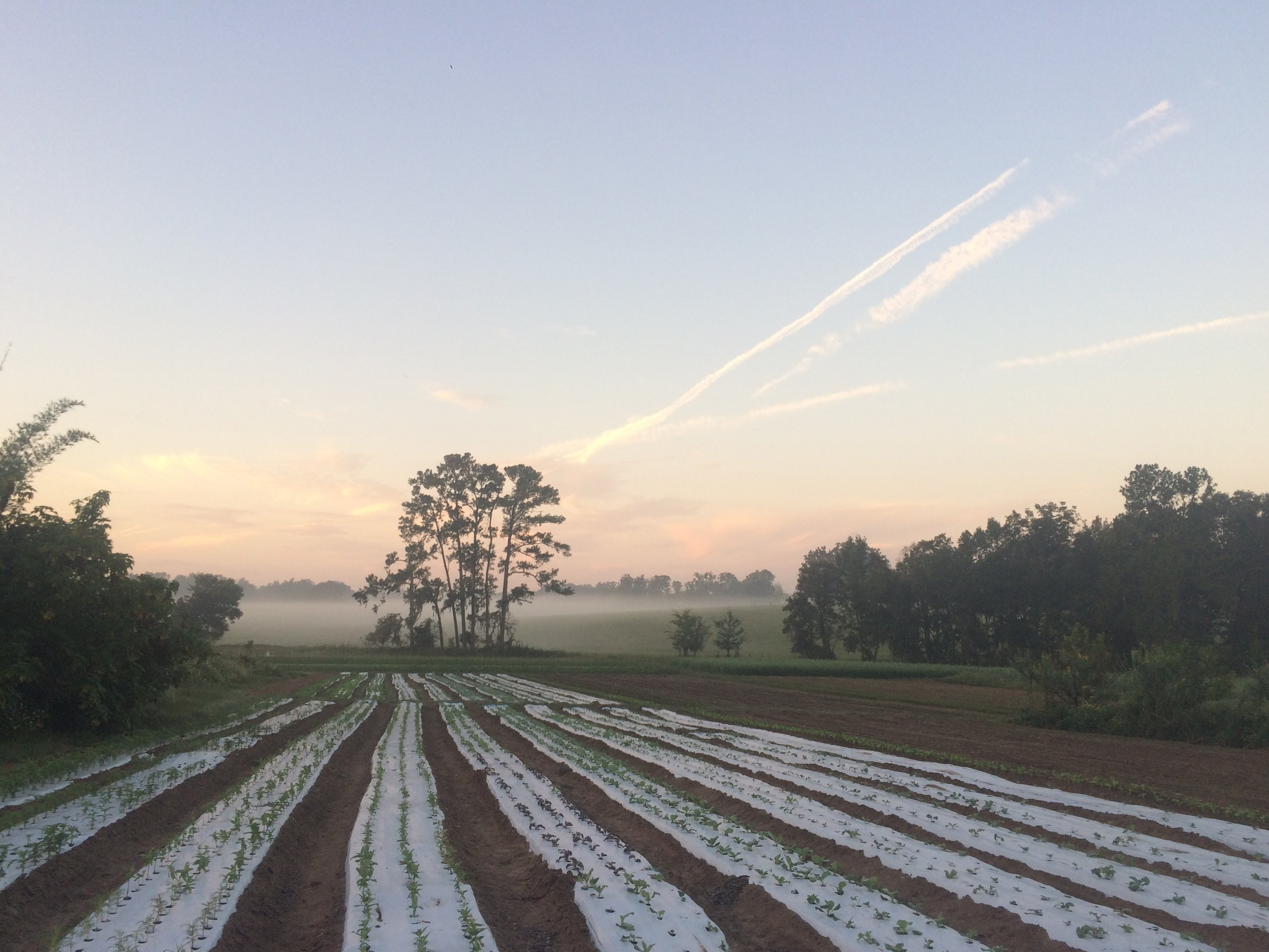New beds of fall crops on Swallowtail Farm, the biodynamic farm where Emily Sylvestre has spent two seasons learning what it means to be a farmer.