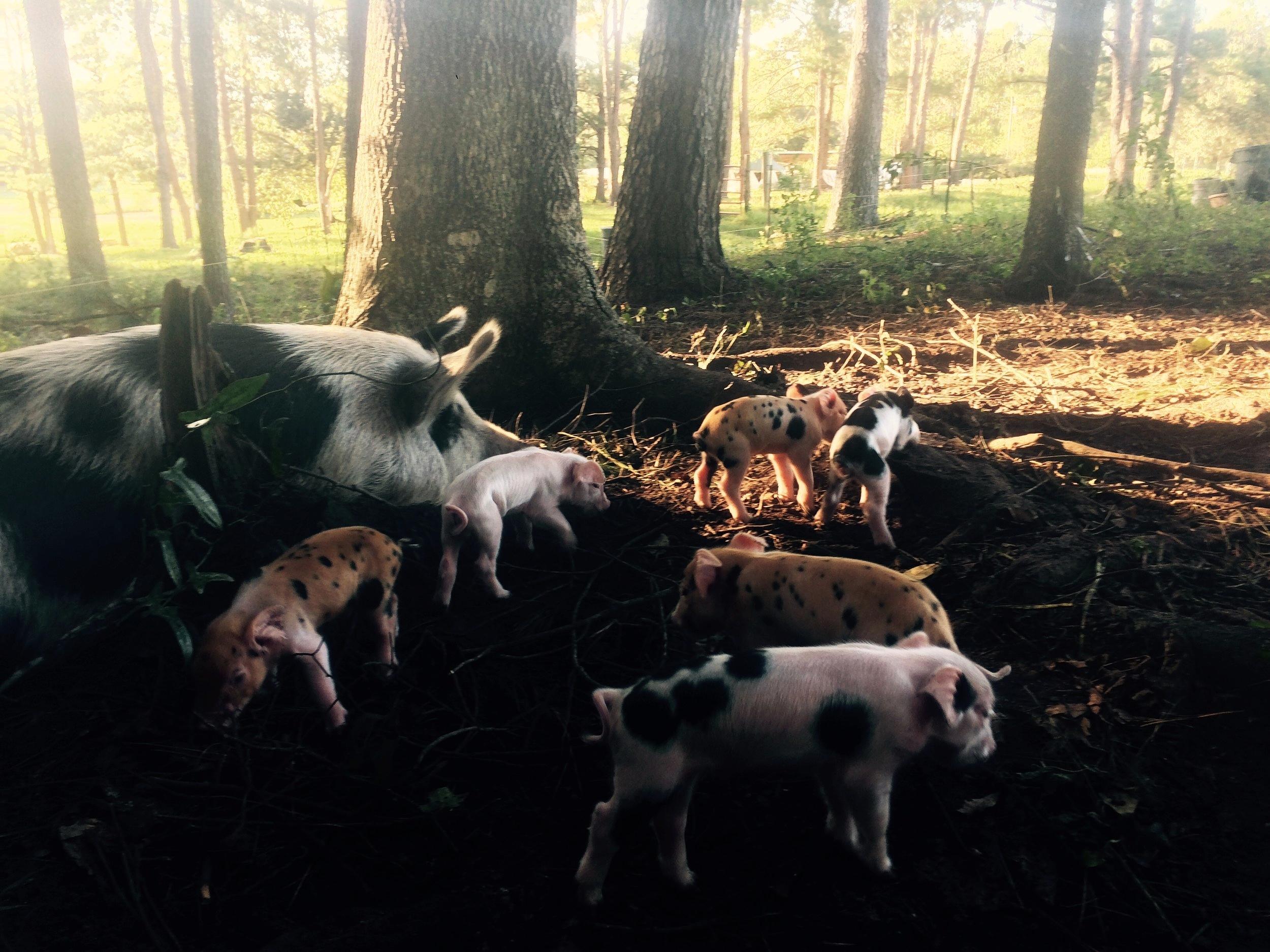 A newborn litter of piglets and their mother.