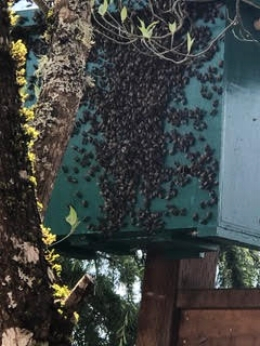 The same bait box with the swarm Alison caught. The bees went inside.