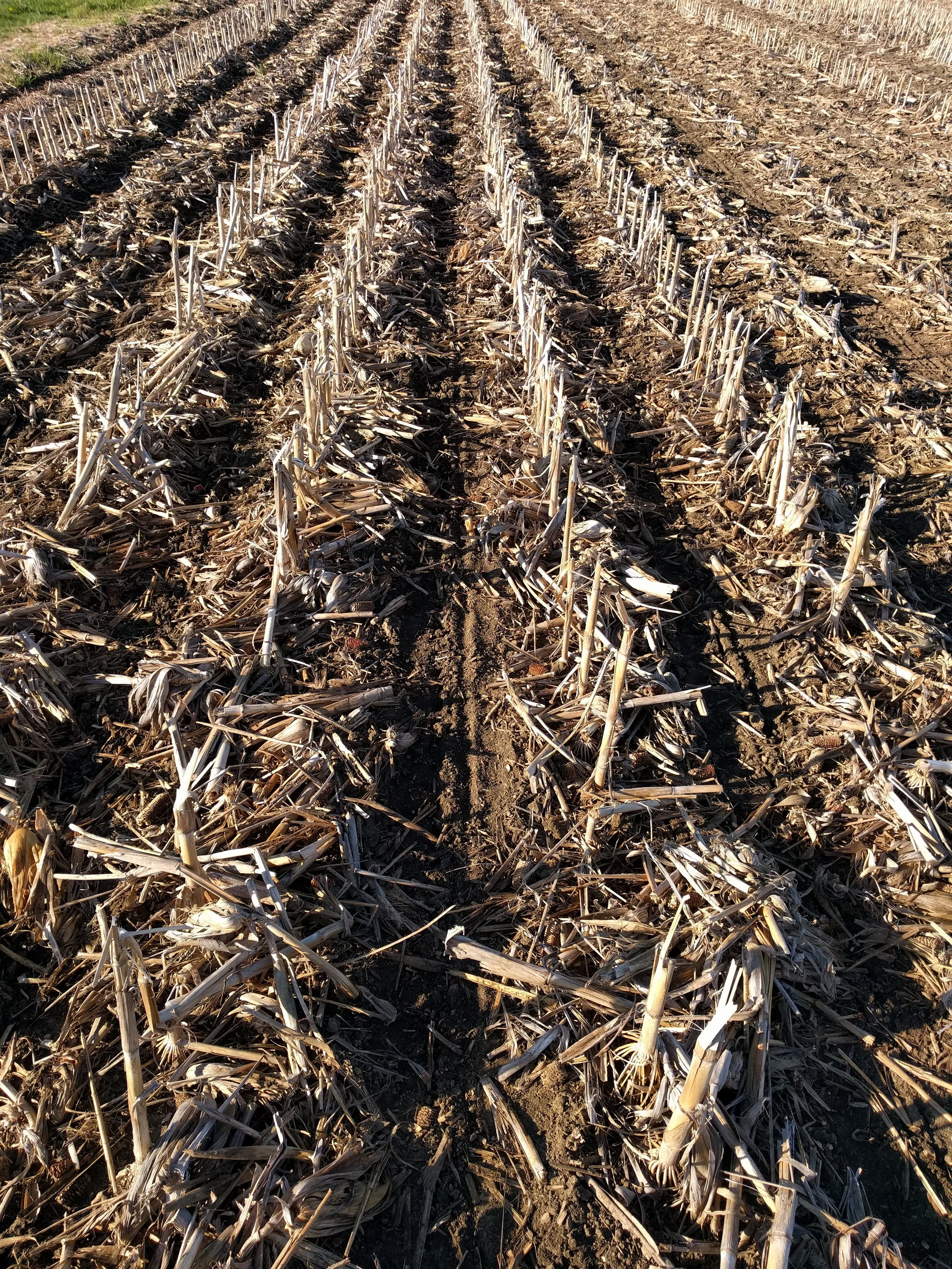 Freshly planted rows of corn between the previous year's untouched corn stalks. Photo credit   The Farmer's Life