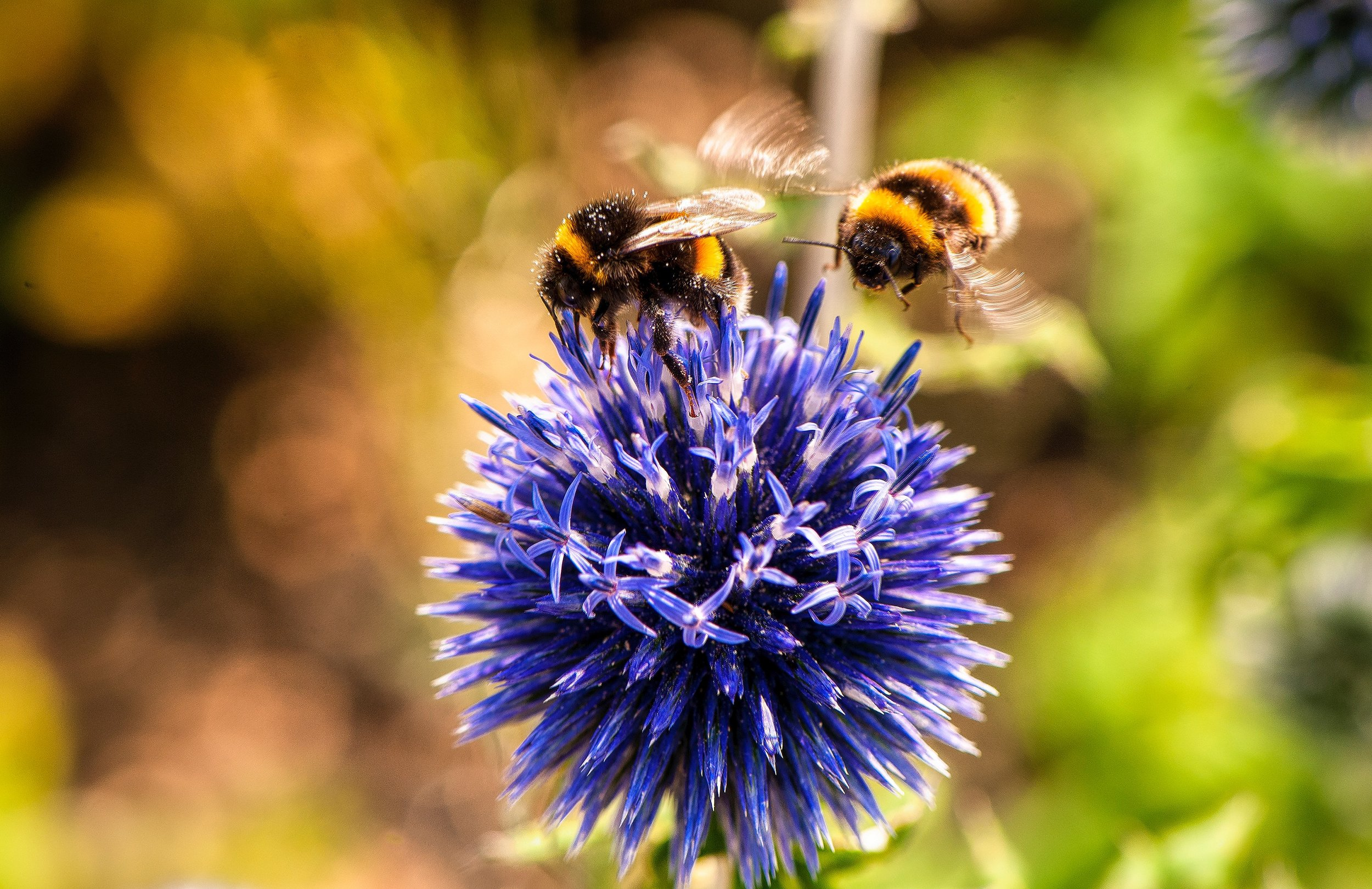 Bumblebees are just one in more than 30,000 bee species. Taking simple steps to attract a variety of pollinators can give you a healthier garden and help support your local ecosystem.