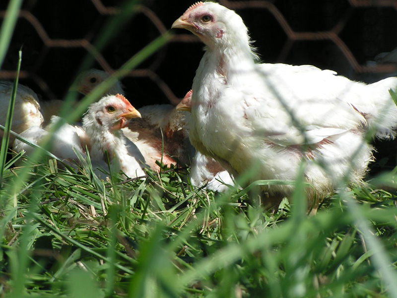 The pasture-raised broilers on Polyface Farms are treated to fresh air, exercise, and sunshine.