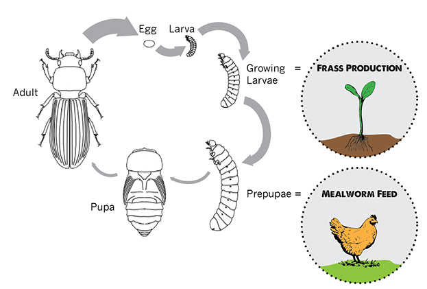 Insects can be used for more than just feed. They also produce fertilizer. Photo from  Beta Hatch