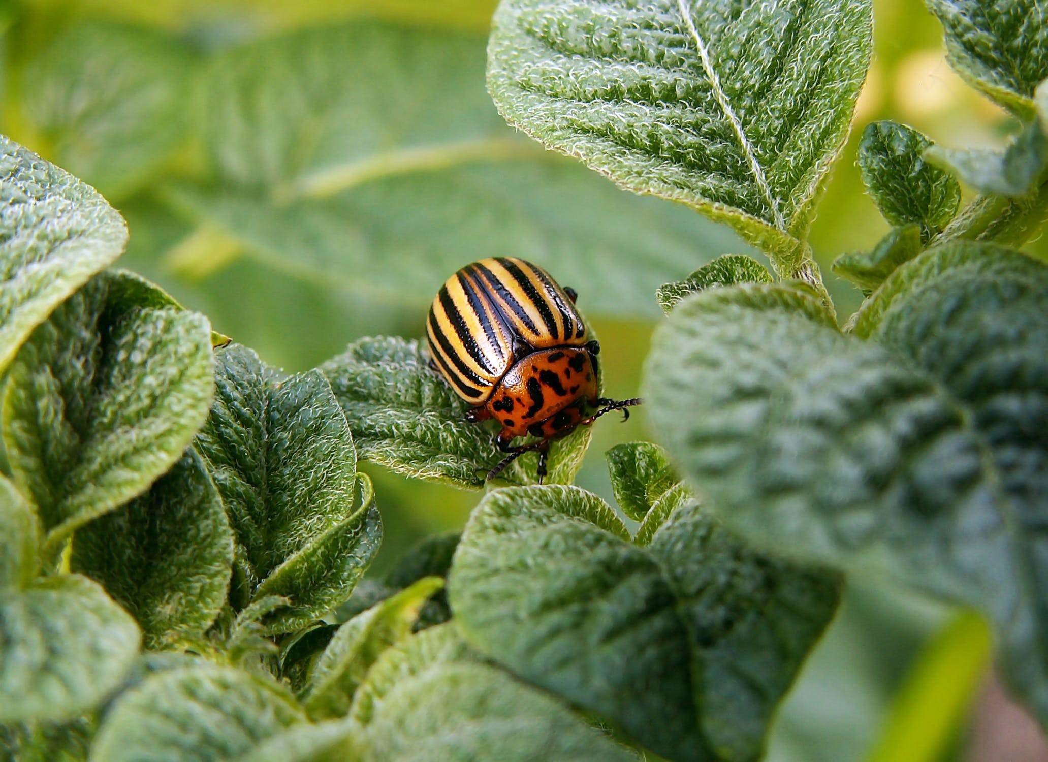 Beetles can be a real headache for gardeners. They have the ability to take out a whole crop if there are enough of them. Washing leaves with insecticidal soap can effectively repel them.