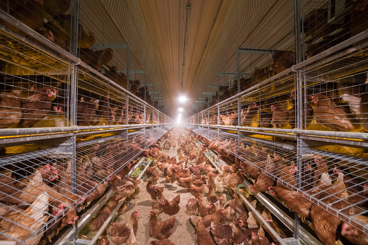 Cage-free and free-range designations don't specify the amount of space each hen gets or guarantee they'll ever get to go outside. Photo Credit:  NPR