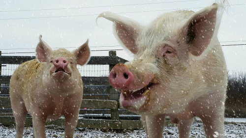 Bob and his friend Eric chase snowflakes at Farm Sanctuary's New York location.