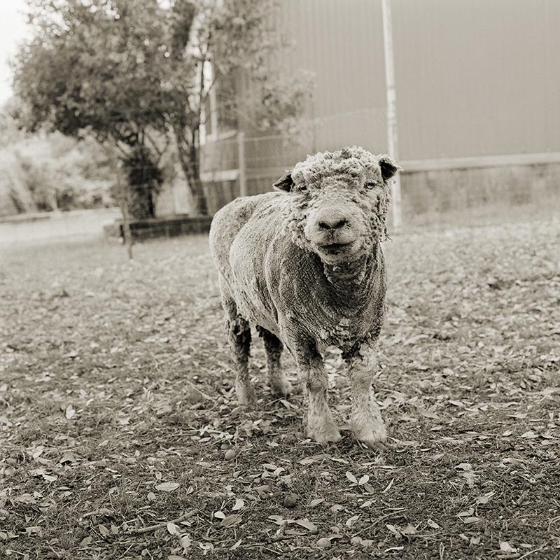 Phyllis, Southdown sheep, 13