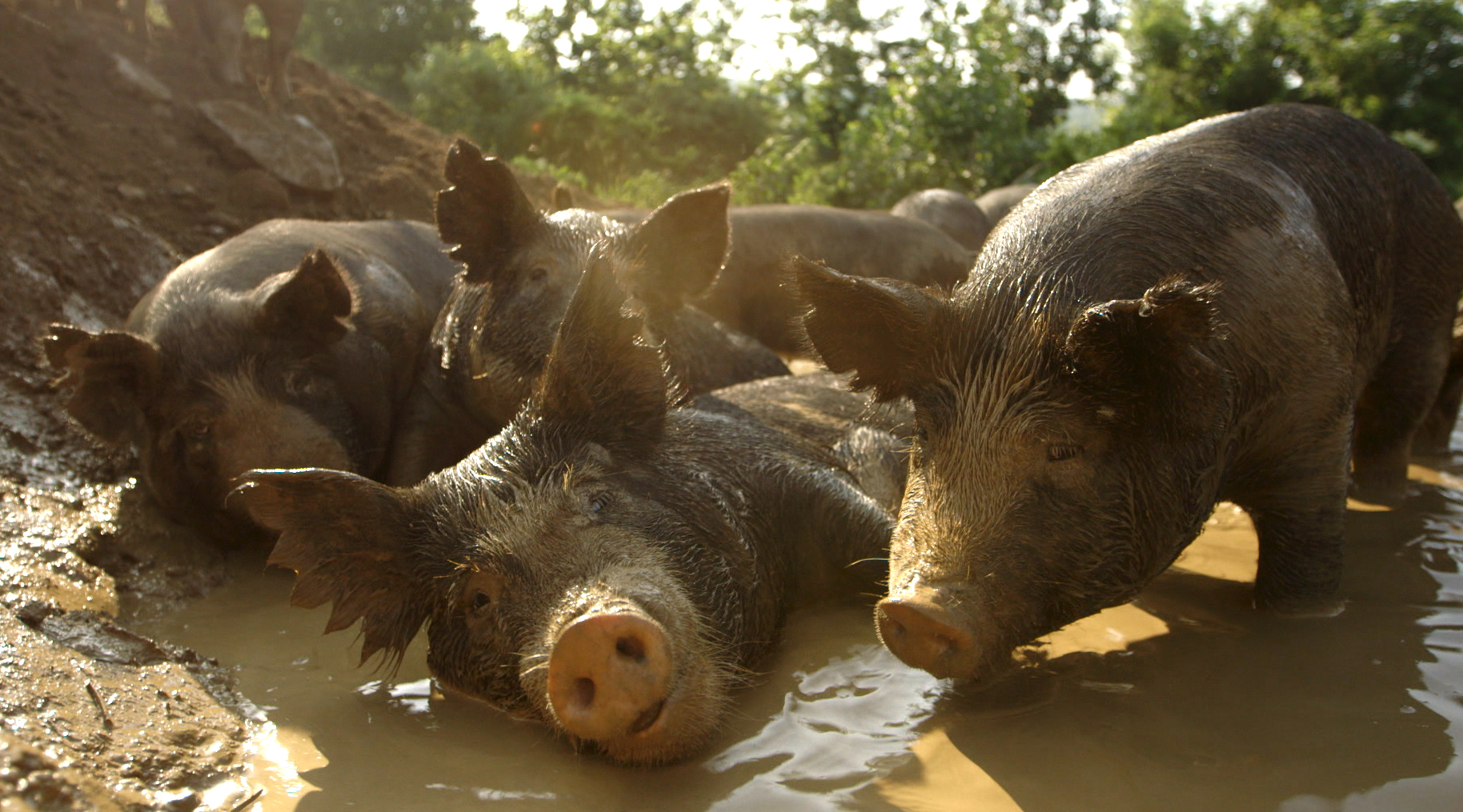 The mud wallow scene displays pure pig joy, an expression central to the film's message.