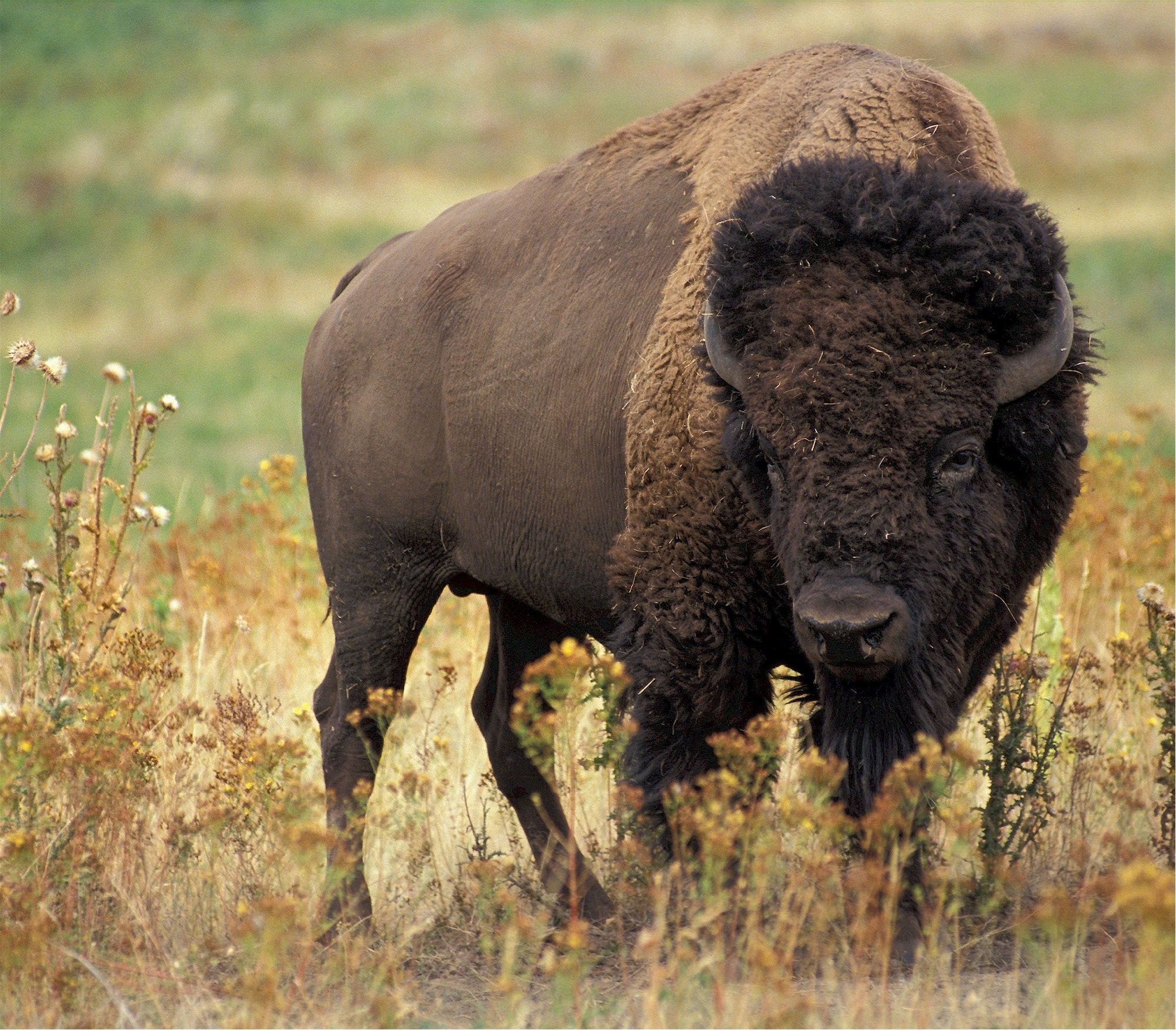 The grass-fed buffalo at the Great Plains Buffalo Company in South Dakota help preserve the grassland, which is being decimated by industrial farming. Less than four percent of the original tallgrass prairie remains.