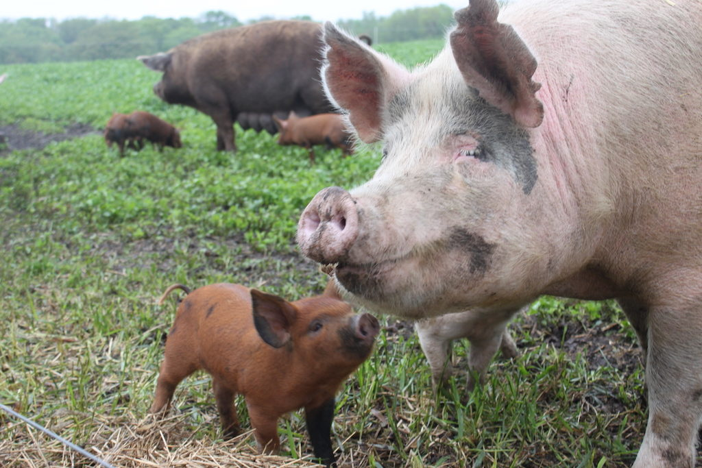 Pigs on a farm that has worked with Niman Ranch since 1998.