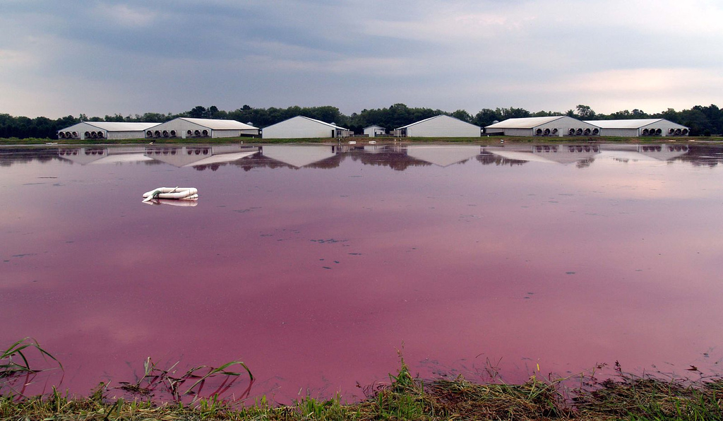 CAFOs often store animal waste in massive, open-air lagoons, like this one at Vanguard Farms in Chocowinity, North Carolina. Bacteria feeding on the animal waste turns the mixture a bright pink.  Image source