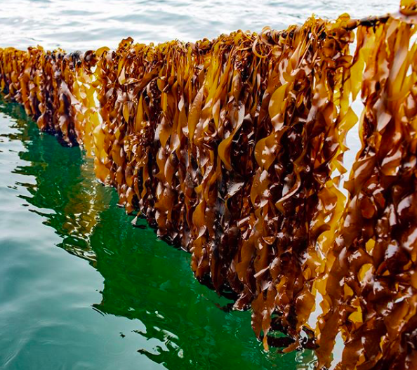 We've known for a few years that kelp is a super food and fights global warming. So why isn't it more popular? Patience, say supporters. Its time is coming. (photo from  Daily Harvest )