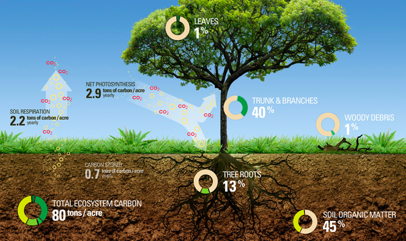 Trees store more carbon than fellow photosynthesizers, thanks to their above ground woody mass and extensive root systems underground. While most all trees are carbon champions, dense wood and large canopies make for particularly good sequestration. (Image via  TreeSpirit Project )