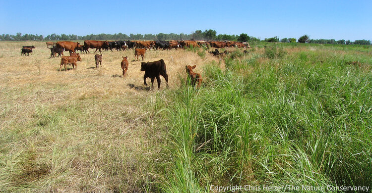 A multi-paddock grazing operation in central Nebraska. These regeneratively grazed cattle are being moved from the paddock on the left to the one on the right.  Photo source