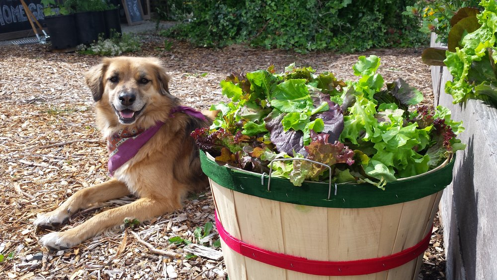 Planting perennials is the best way to help soil sequester carbon. But it is possible to grow lettuce, and other annuals, regeneratively. Here, Nimbus, my farm dog, shows off some of this year's harvest.