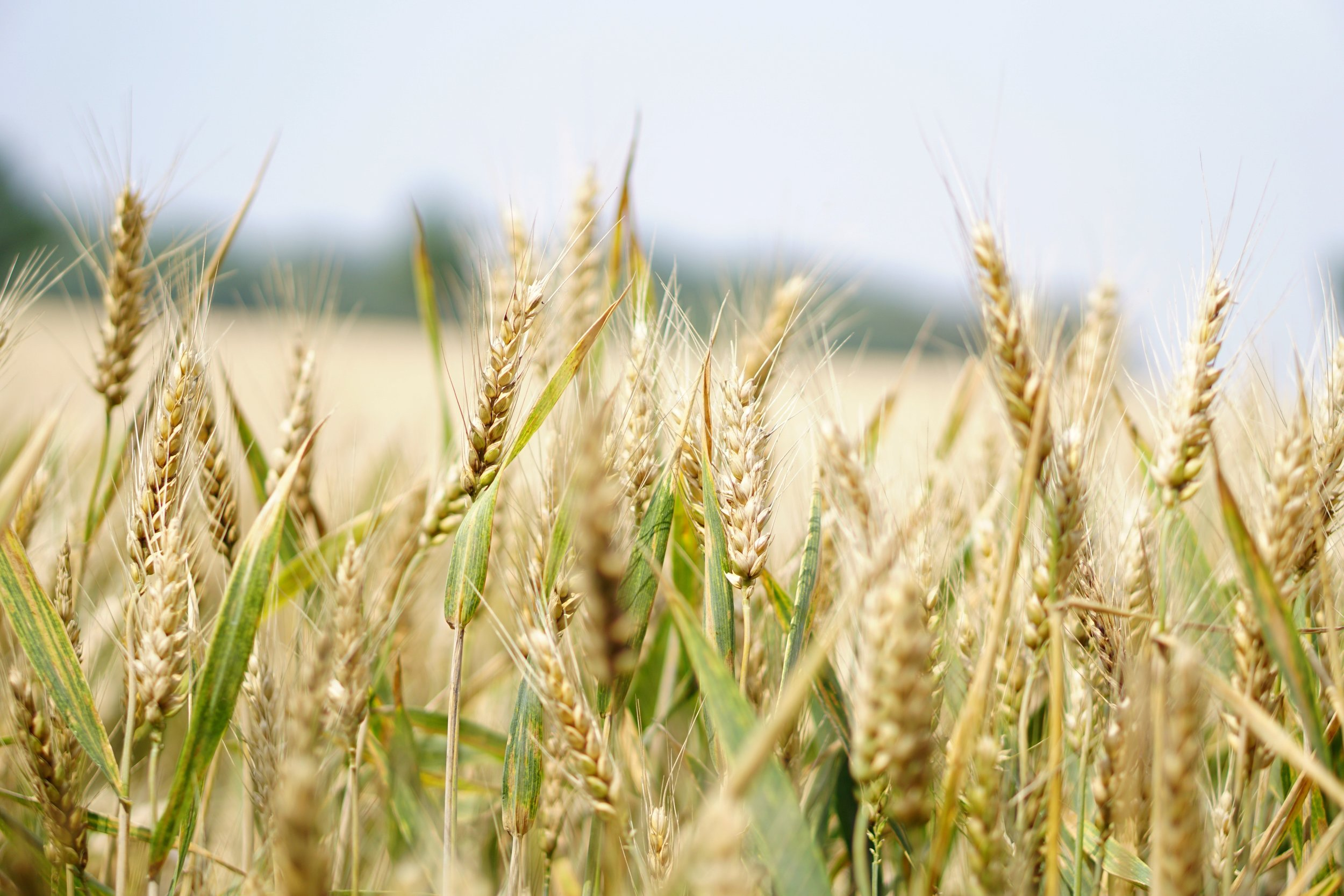 A variety of grasses, including wheat, will be used to make a new kind of compostable container. Image source: Pexels.com