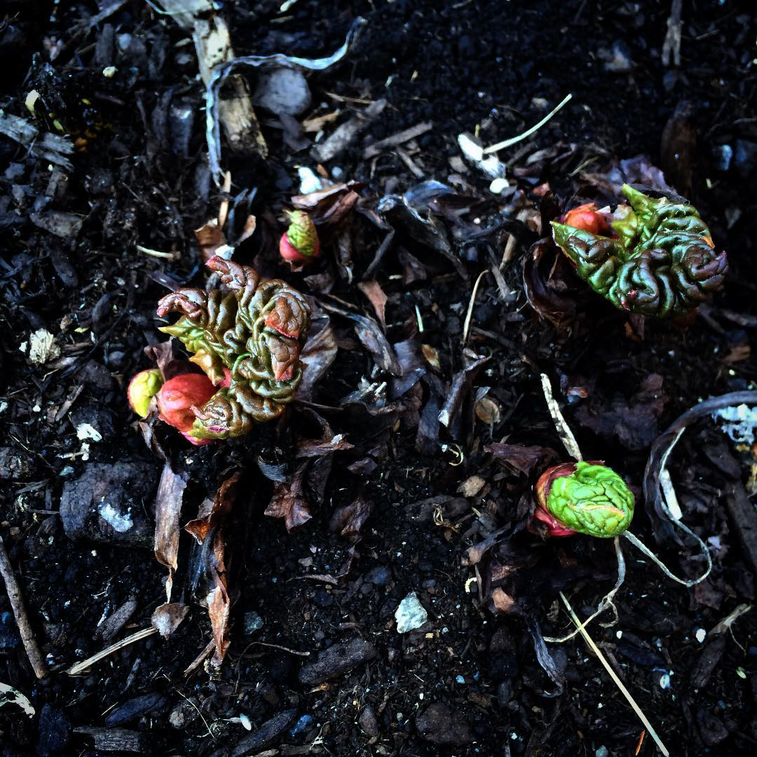rhubarbgrowth2016.jpg