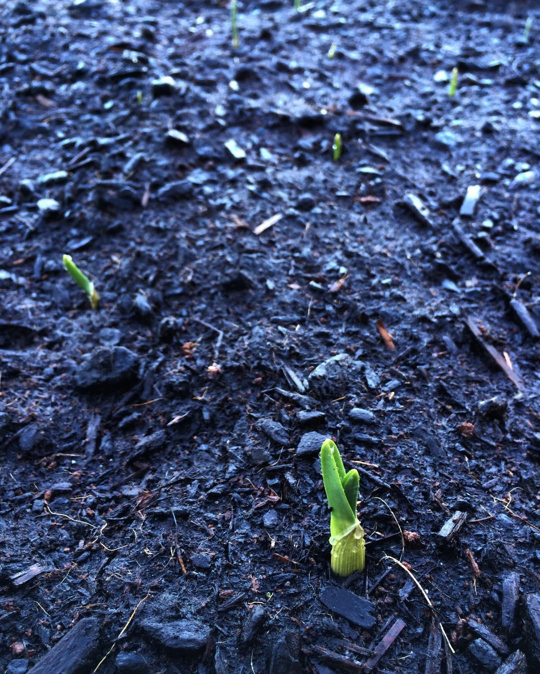 garlic2016.jpg