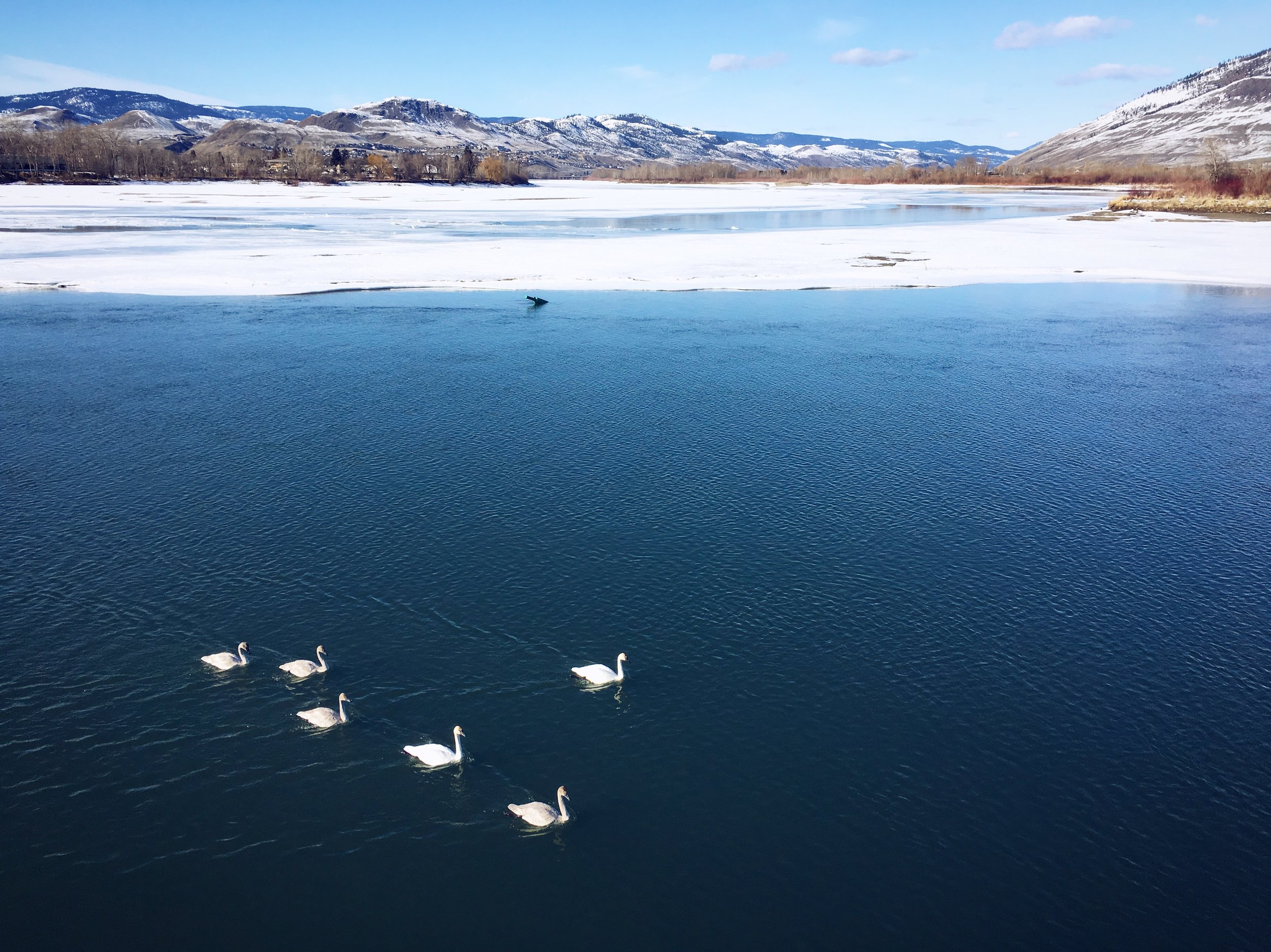 "In these ""Friday Favourites"" posts I link up to some of the best things I've seen on the internet recently.  My favourite real life moment of the past little while was seeing these swans on the still partially frozen Thompson River."