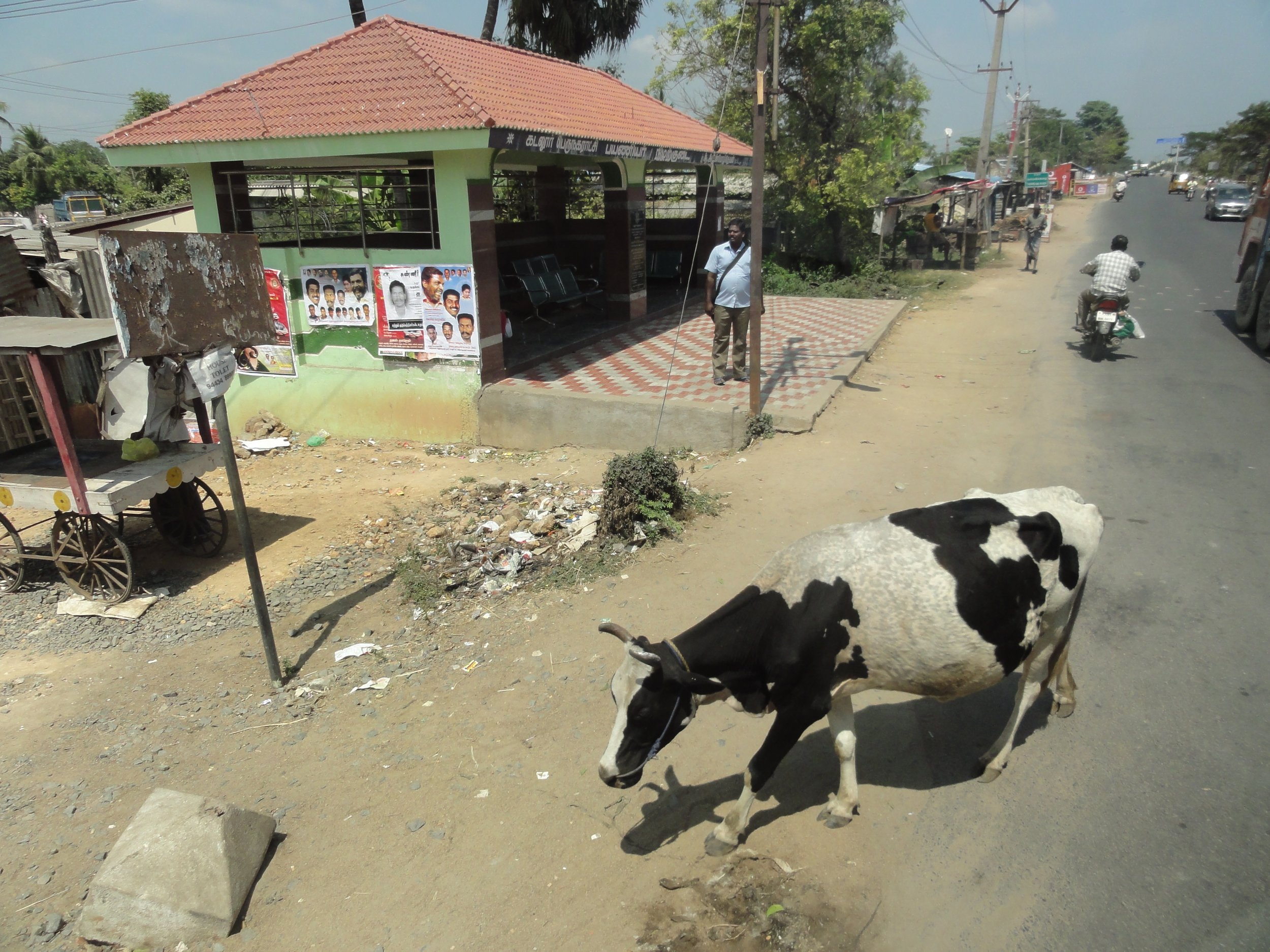 Looking down from the bus - this cow made it safely across the road in front of a truck and a scooter.