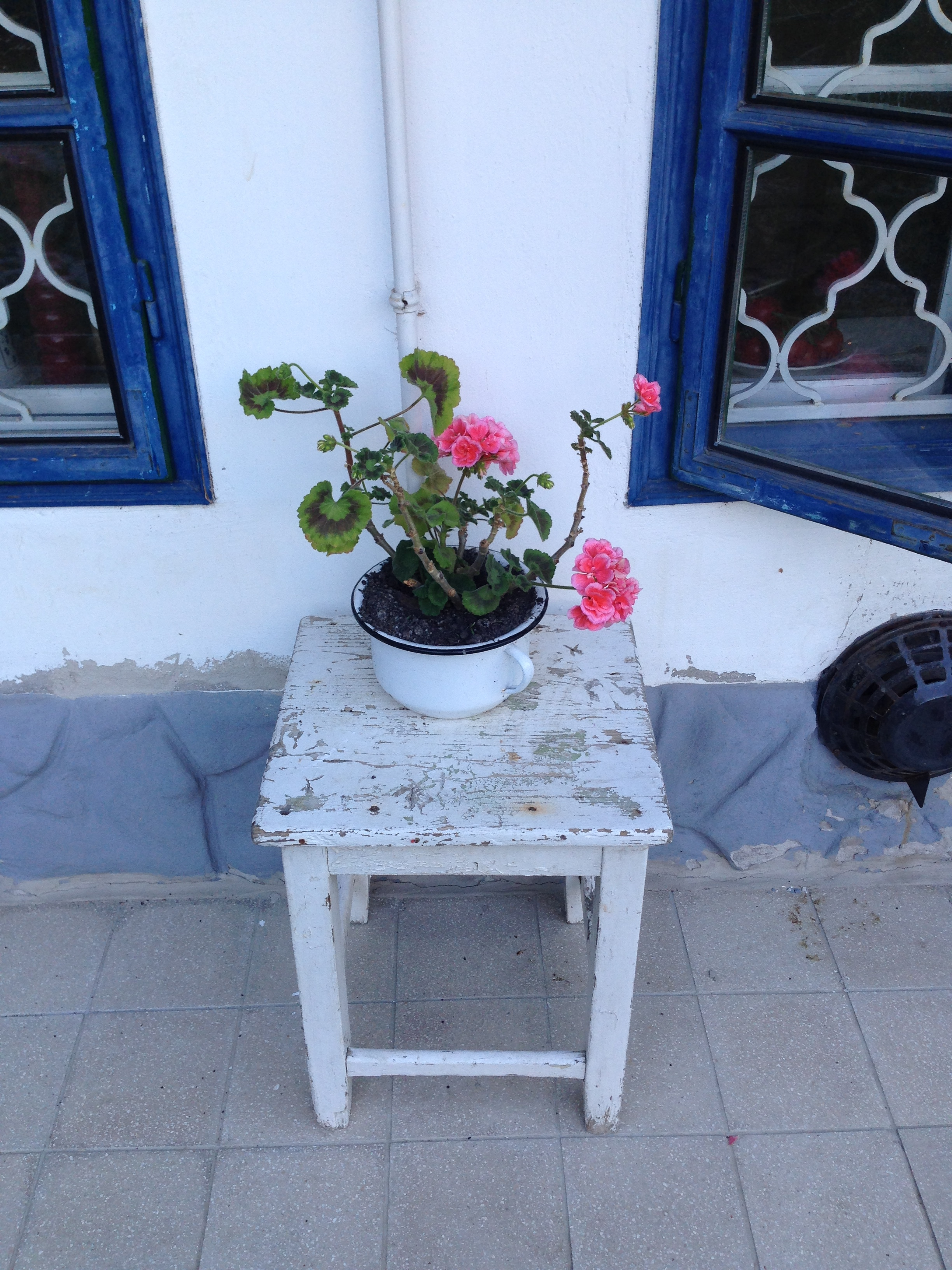 A gorgeous pink geranium in a white enamel pot - just perfect!