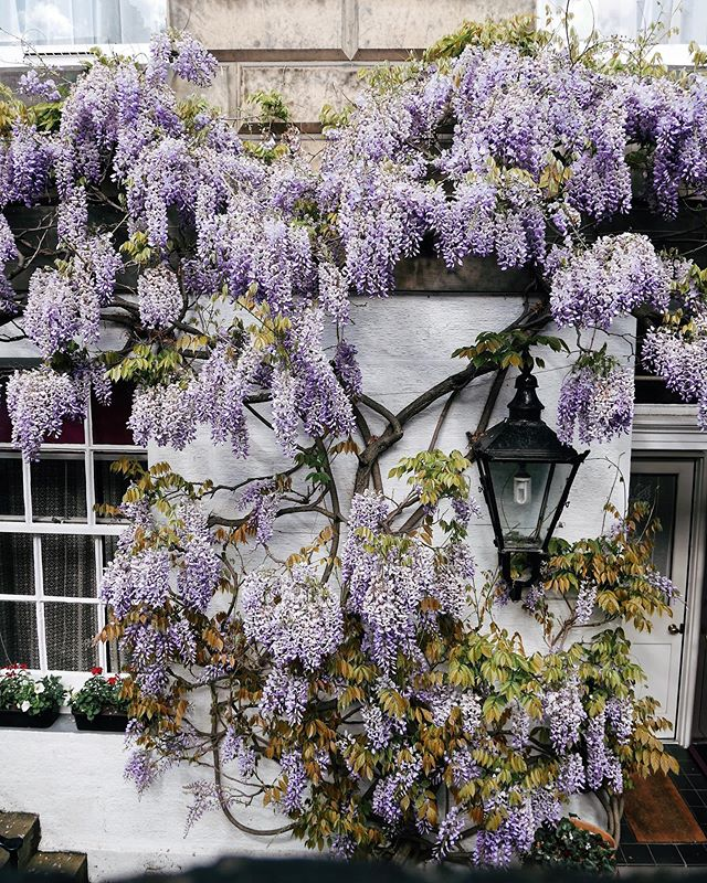Wisteria strolls at Edinburgh's West End - I think I might have found my new favourite wisteria spot 💜 In other news we're finally back in the 'burgh after another weekend away and I'm still trying to catch up on housework. Hope you all had a lovely weekend, folks!