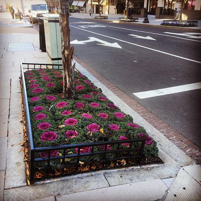Spotted on our block: purple cabbage #washingtondc #purple #fridaymood #winterflowers