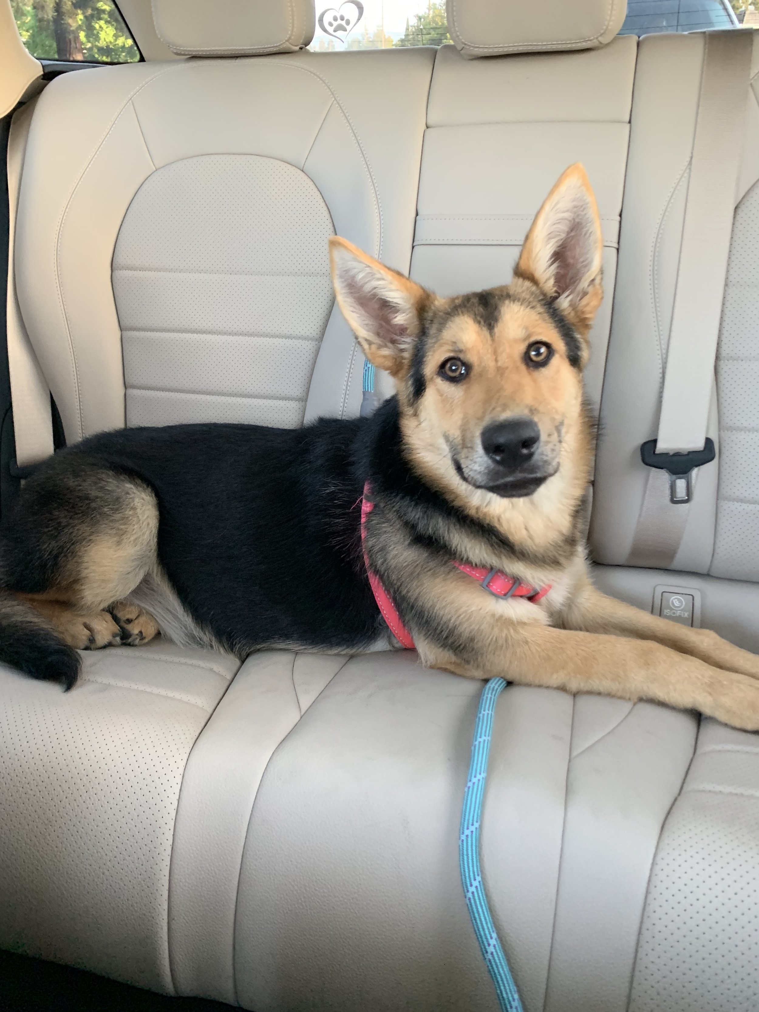 Chloe-ADOPTED   Meet Chloe, now named Brandy by her new family! She is a 6 month old female German Shepherd puppy with a great spirit. We rescued her on her last day at the Los Banos Shelter. Chloe is such a sweetheart and is ready for her forever home. Is that you?