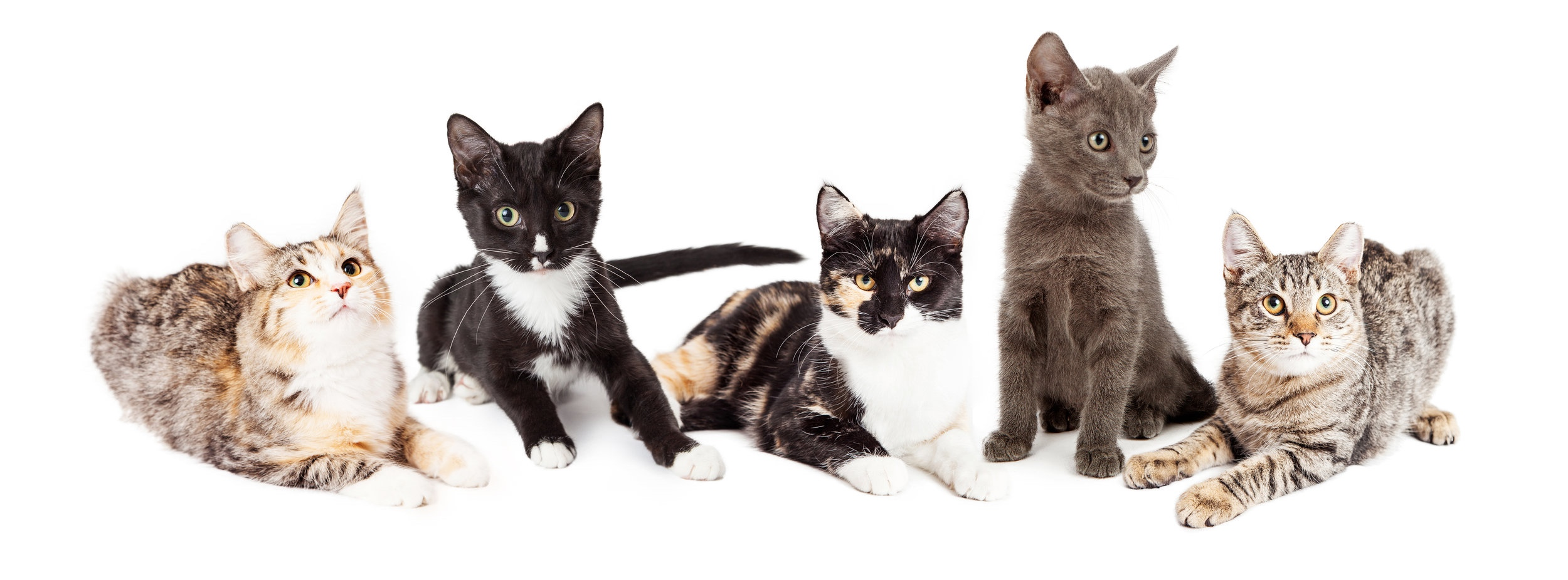 Meet the MO4PAWS    Cats    available for Adoption