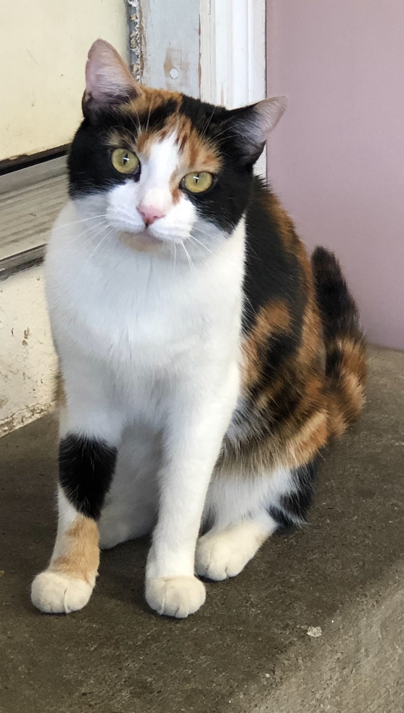 Little Girl    PERSONALITY : Sweet, friendly, calm   BREED : Calico   AGE : 2 years old   SEX : Female  Little Girl is a very sweet and loving Calico cat. She thrives in calm environment and is looking for someone to love her.