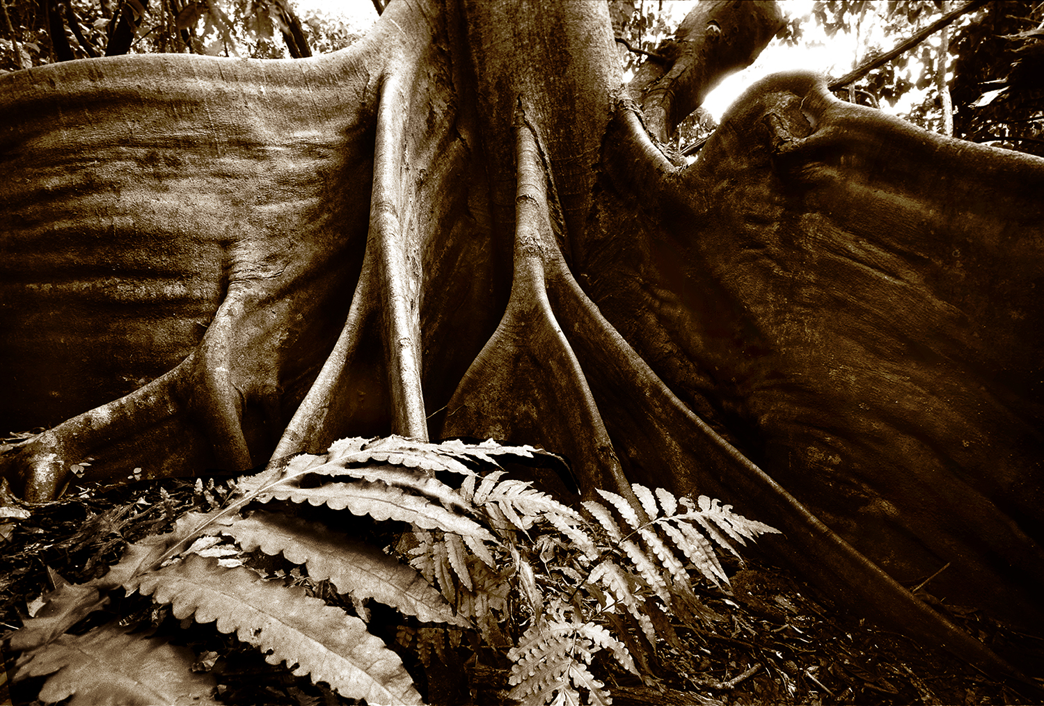 GIANT FIG TREE ROOTS