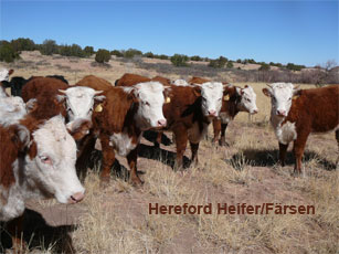 hereford heifer_0.jpg