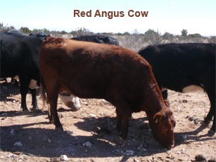 red angus cow_0.jpg