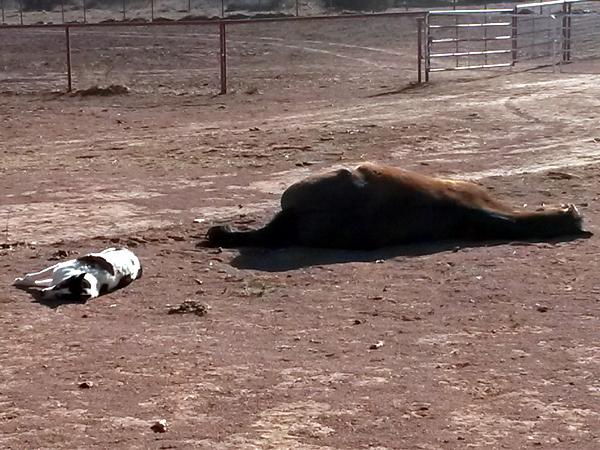 And while everybody is out on the ranch on horseback, Ticks and Blaze are taking a nap side by side :-)  Und während alle draussen auf der Ranch ausreiten, machen Ticks und Blaze nebeneinander ein Mittagsschläfchen :-)