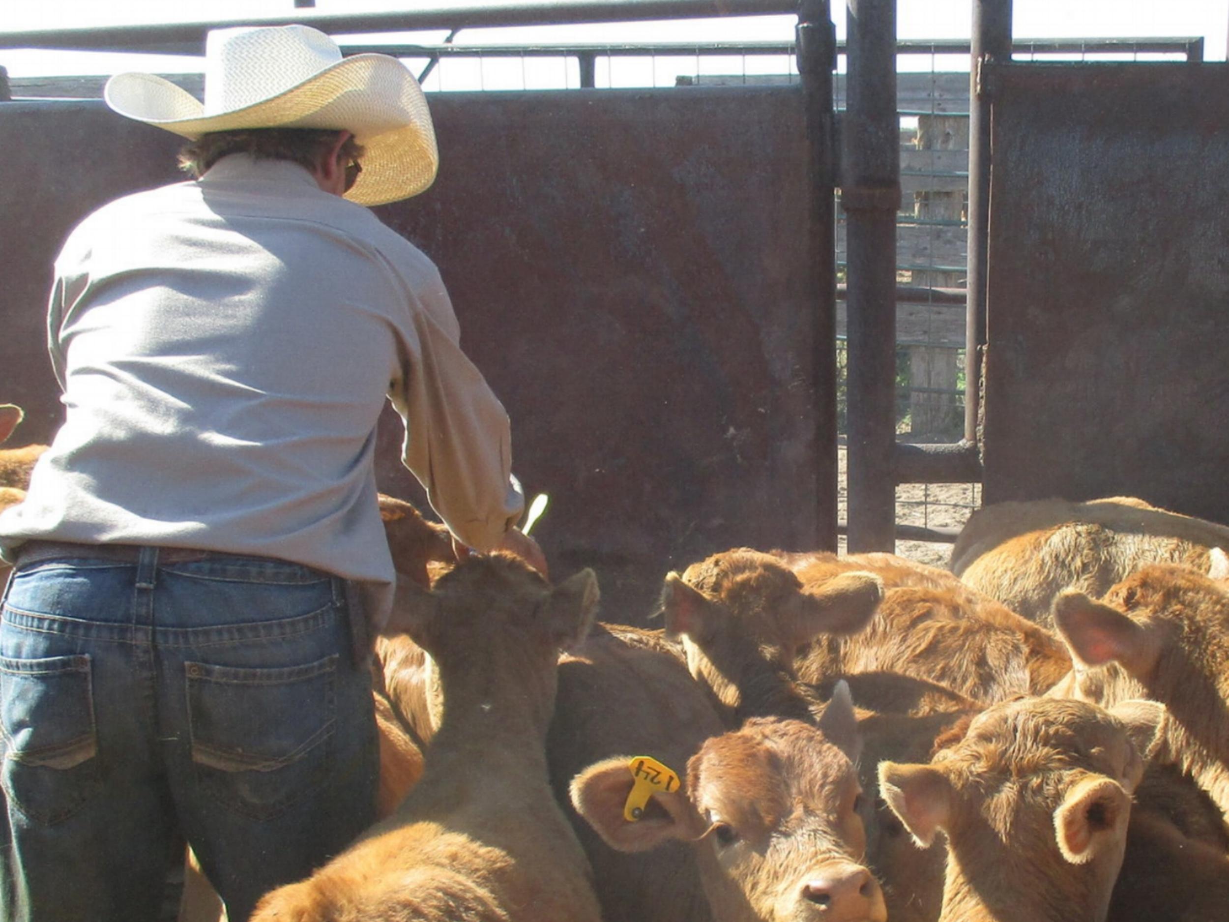 The calves were sorted from the cows and got ear tags.  Die Kälber wurden aussortiert und bekamen ihre Ohrmarken.