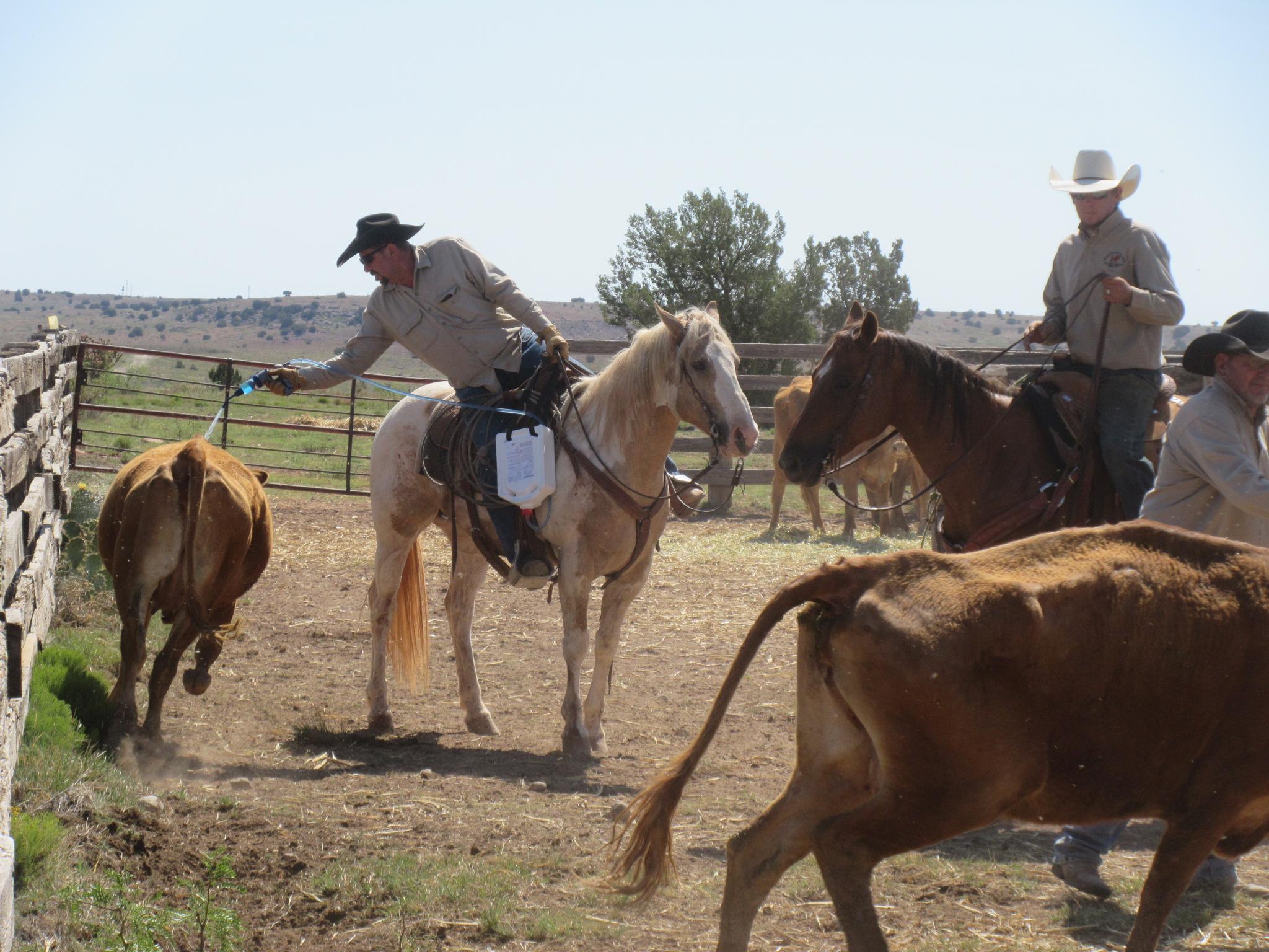 The cows got sprayed with dewormer (by Joe on Repete).  Die Kühe wurden mit Entwurmer besprüht (durch Joe auf Repete).
