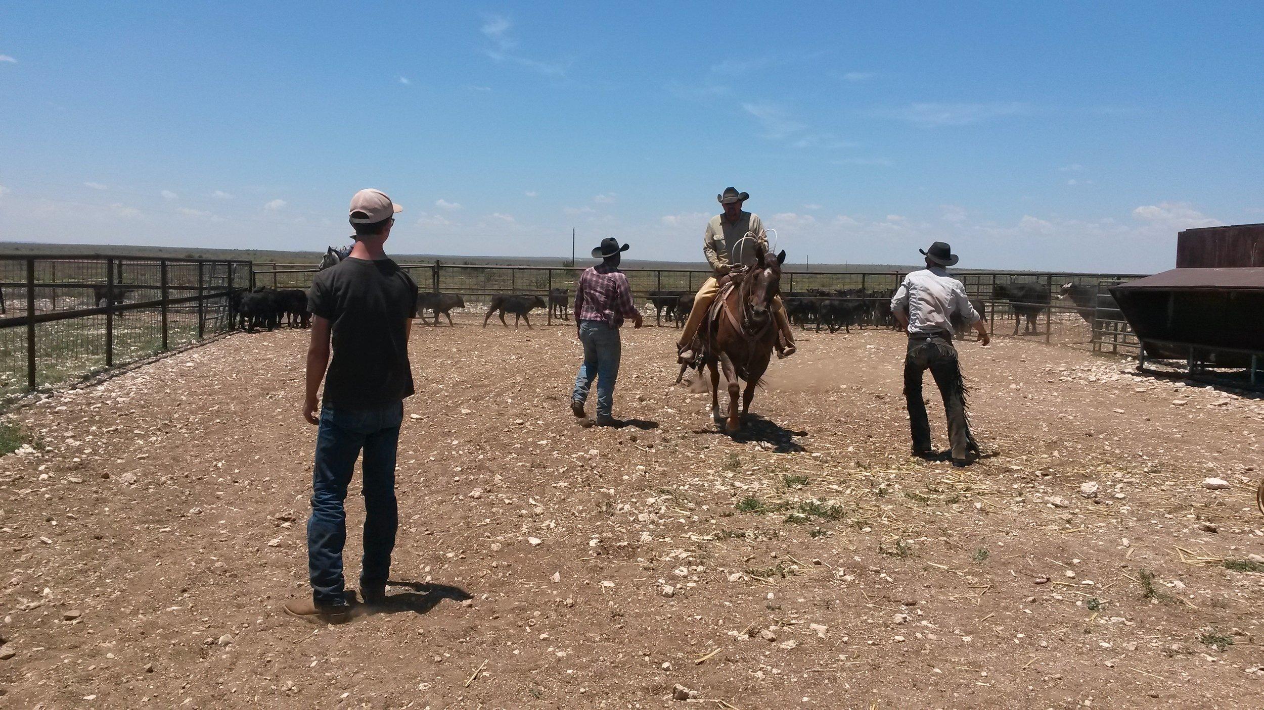 Joe (on Cowboy) is dragging the first calf and Allyn and Zoulu hustle to flank it.  Joe (auf Cowboy) zieht das erste Kalb und Allyn und Zoulu beeilen sich, um es zu flanken.