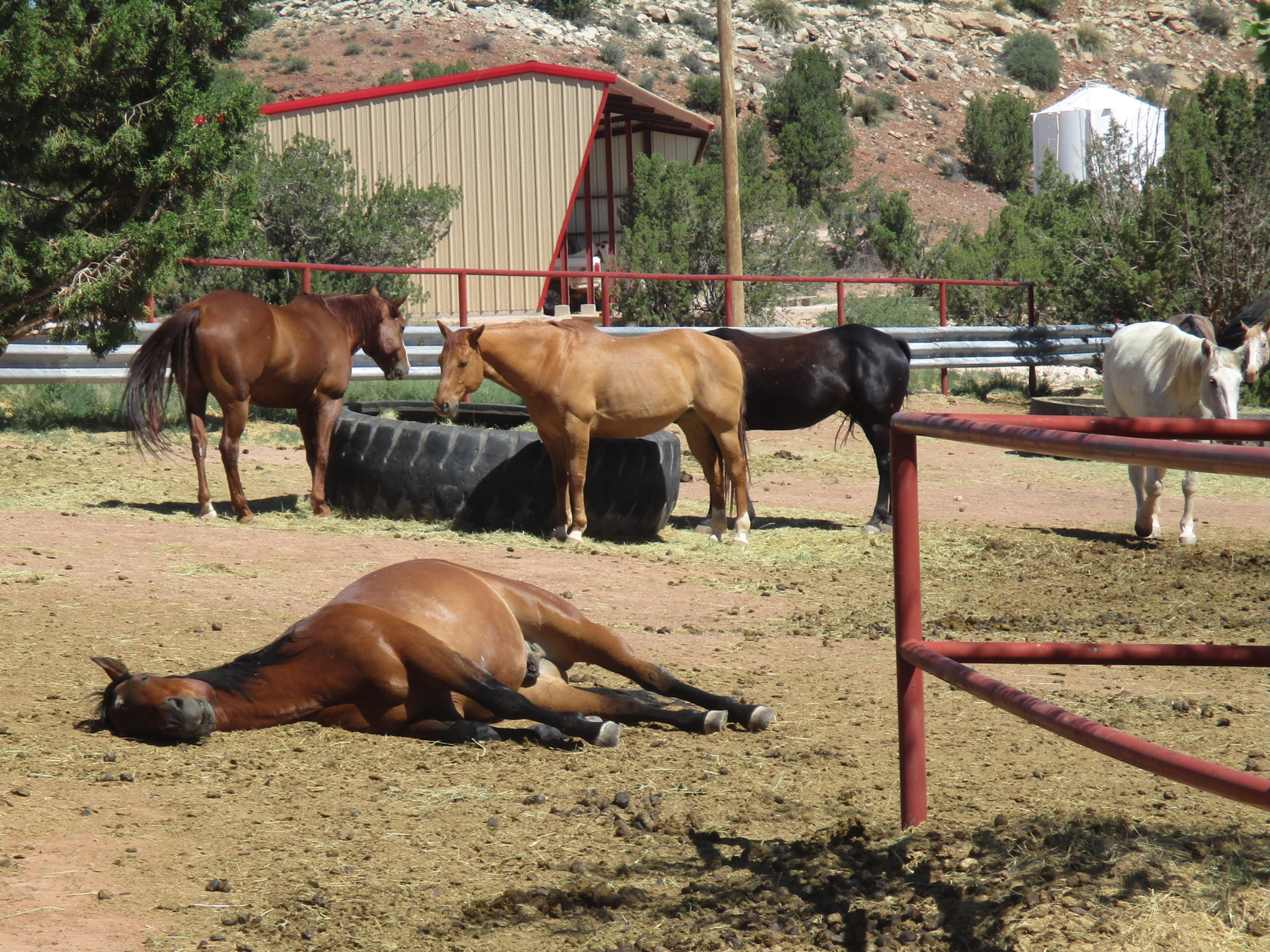 Our horses (like Hank is demonstrating )love to take naps around noon ;-)  Unsere Pferde (wie Hank hier demonstriert) lieben es mittags zu schlafen ;-)