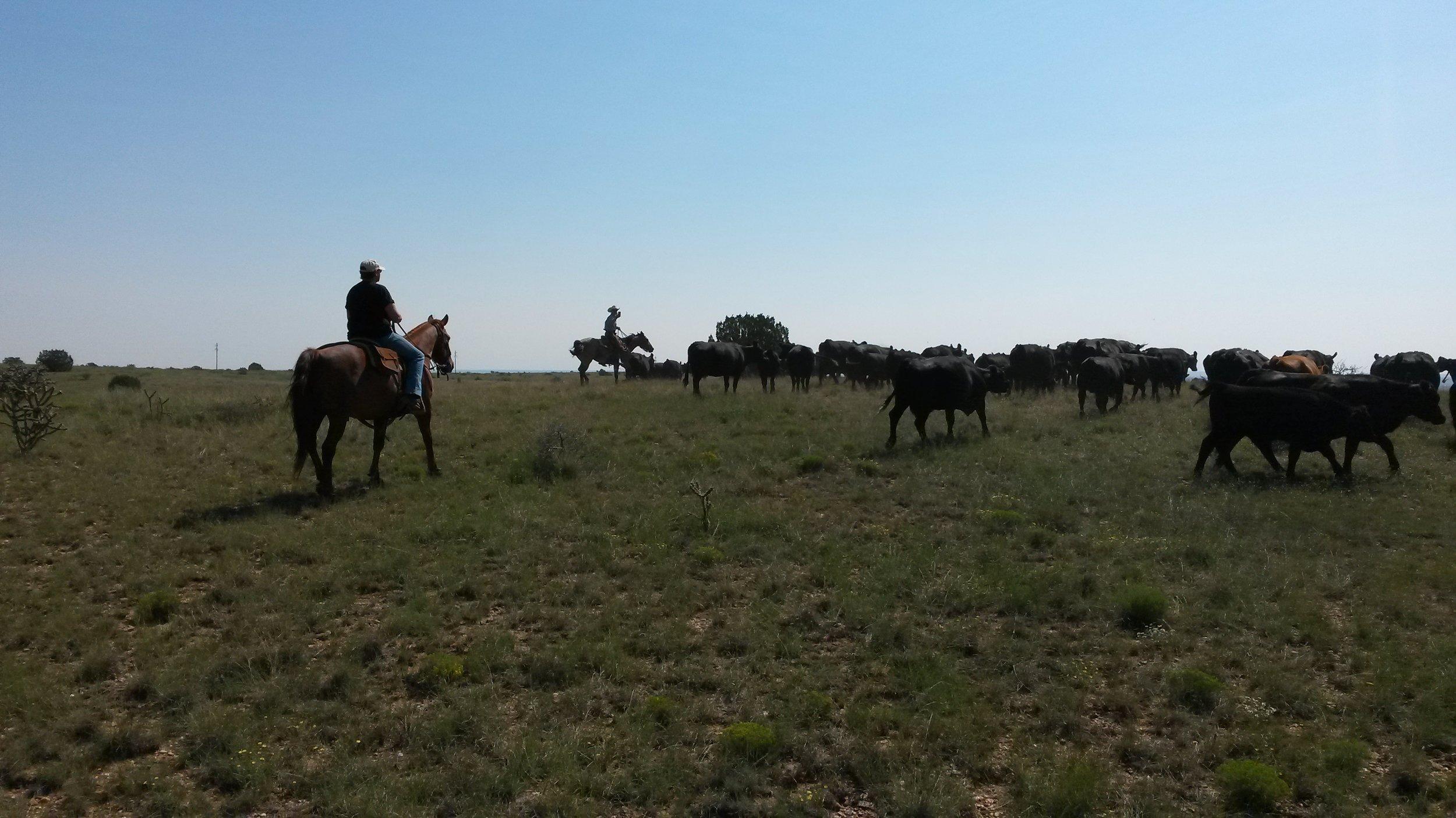 Birgit on Butch is doing a good job driving the cattle.  Birgit auf Butch macht gute Arbeit beim Rindertreiben.