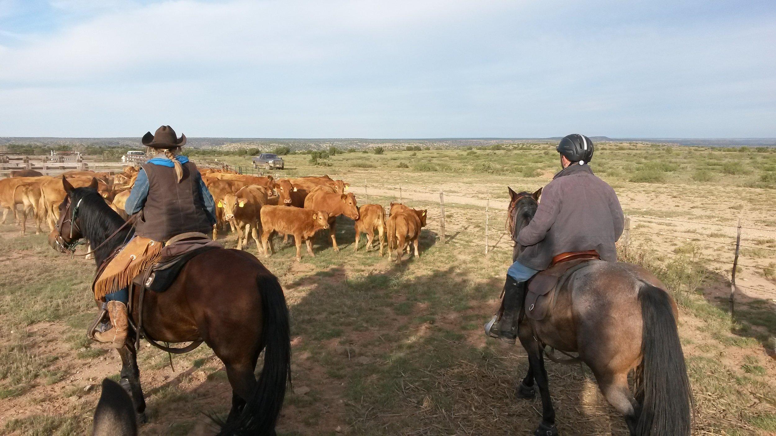 Middle of October we were helping friends gathering their (japanese) Akaushi cattle. Andy on Kip (left) and Leo on Gus (right) at work.  Mitte Oktober haben wir Freunden geholfen ihre (japanischen) Akaushi Rinder einzutreiben. Andy auf Kip (links) und Leo auf Gus (rechts) bei der Arbeit.
