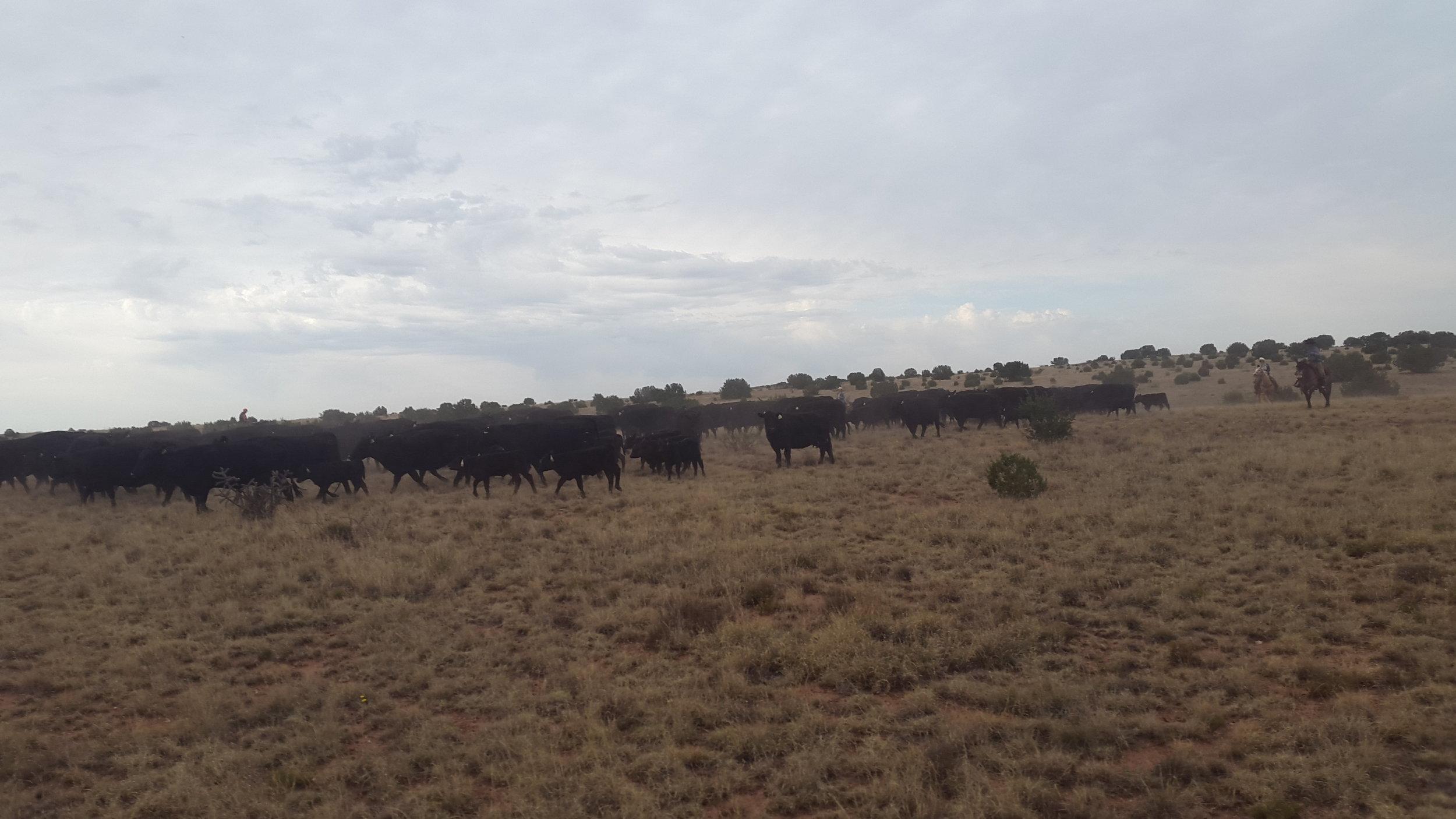Nachdem die Rinder zusammen getrieben haben, bringen wir die Herde in die Pens.  After we gathered the cattle we are driving them to the pens.