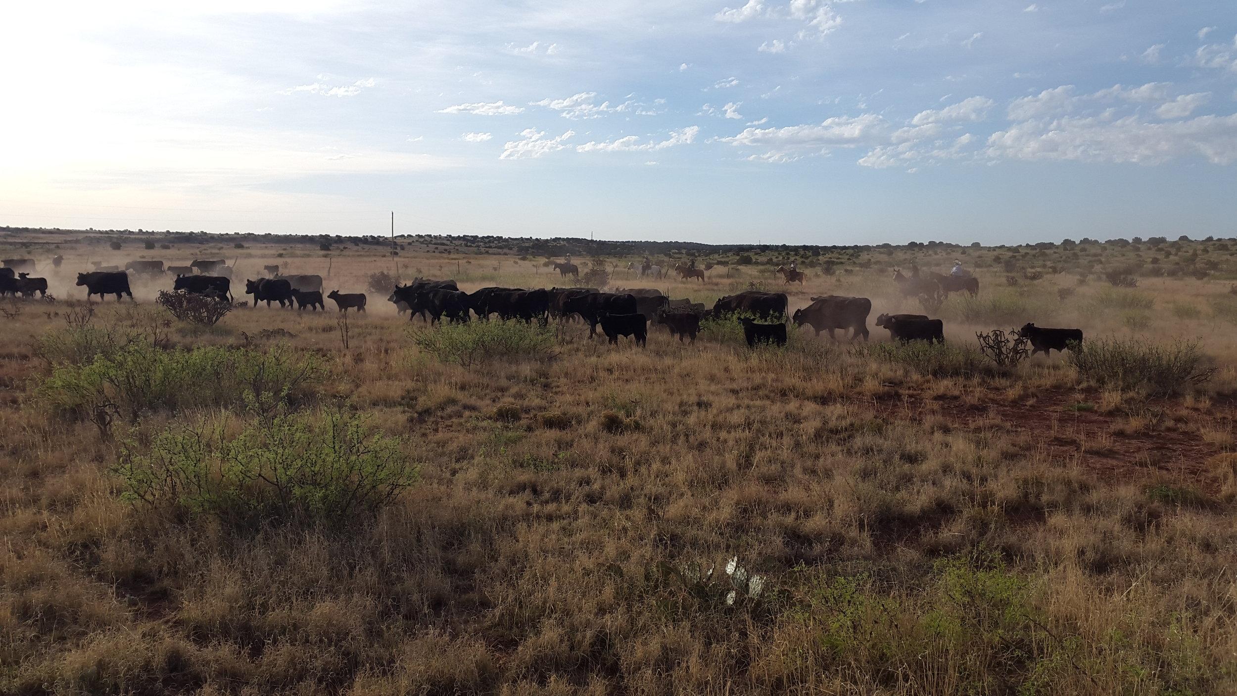 Ein paar Tage später sind wir wieder auf der Fuchs Ranch, diesmal zum Branding. Hier treiben wir gerade die Herde zu den Pens.  A few days later we are back at Fuchs Ranch, this time for branding. Here we are driving the cattle to the pens.
