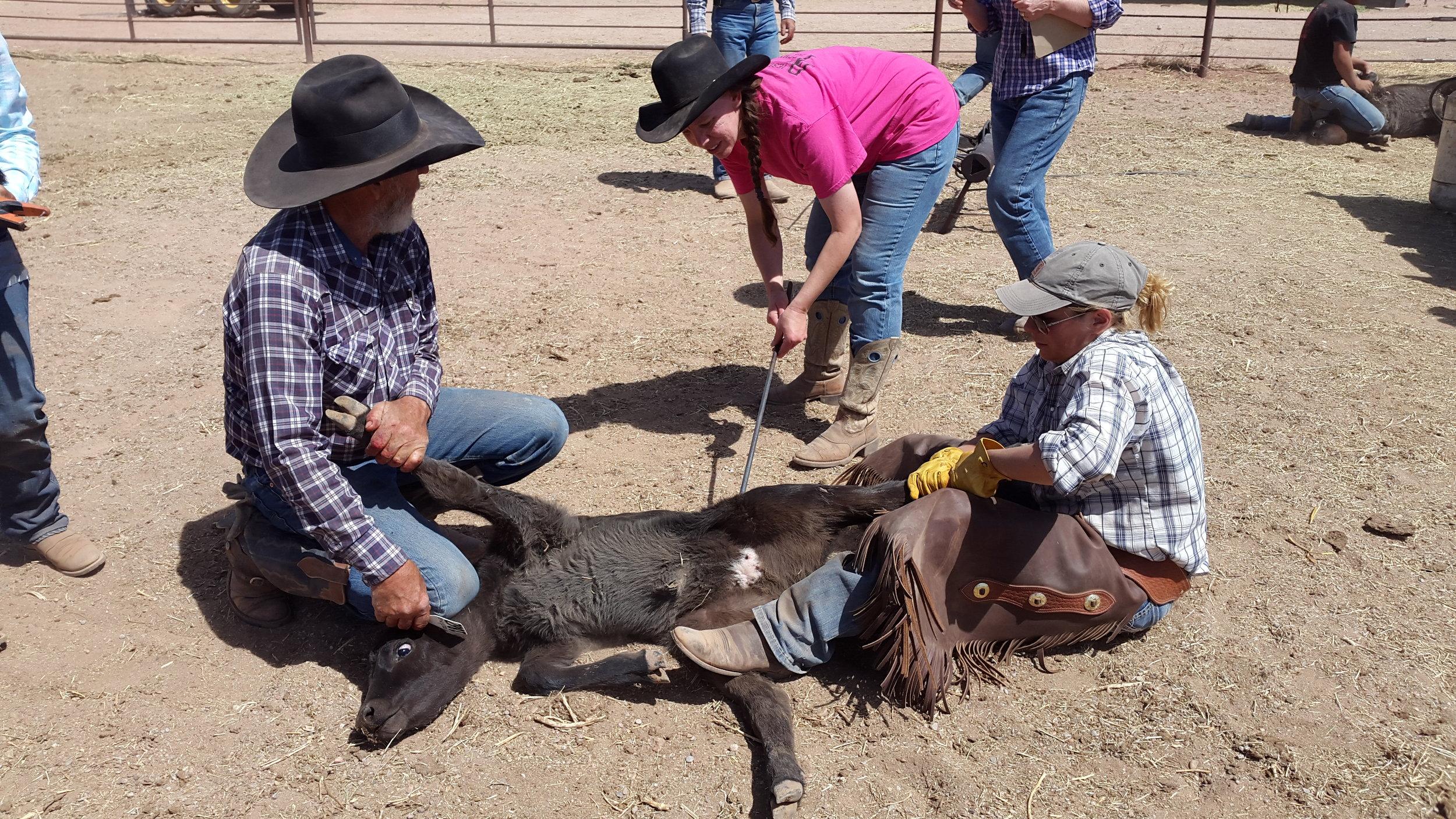 Wendall (links) und Annika (rechts) halten das Kalb während Rebecca das Brandzeichen setzt.  Wendall (left) and Annika (right) are flanking the calf while Rebecca is branding it.