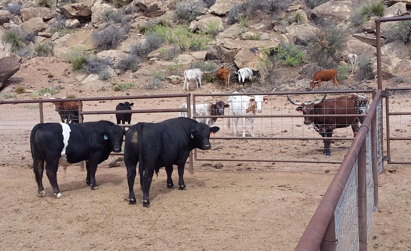 """Und weil sie so hübsch sind hier noch ein paar spezielle Rinder an der Farm. Am besten gefällt mir - ausser den Longhorn Rindern - der """"Oreo"""" Bulle ;-)  And because they are so pretty here some of our special cattle at the farm. I like - besides the long horns - the """"Oreo"""" bull the best ;-)"""