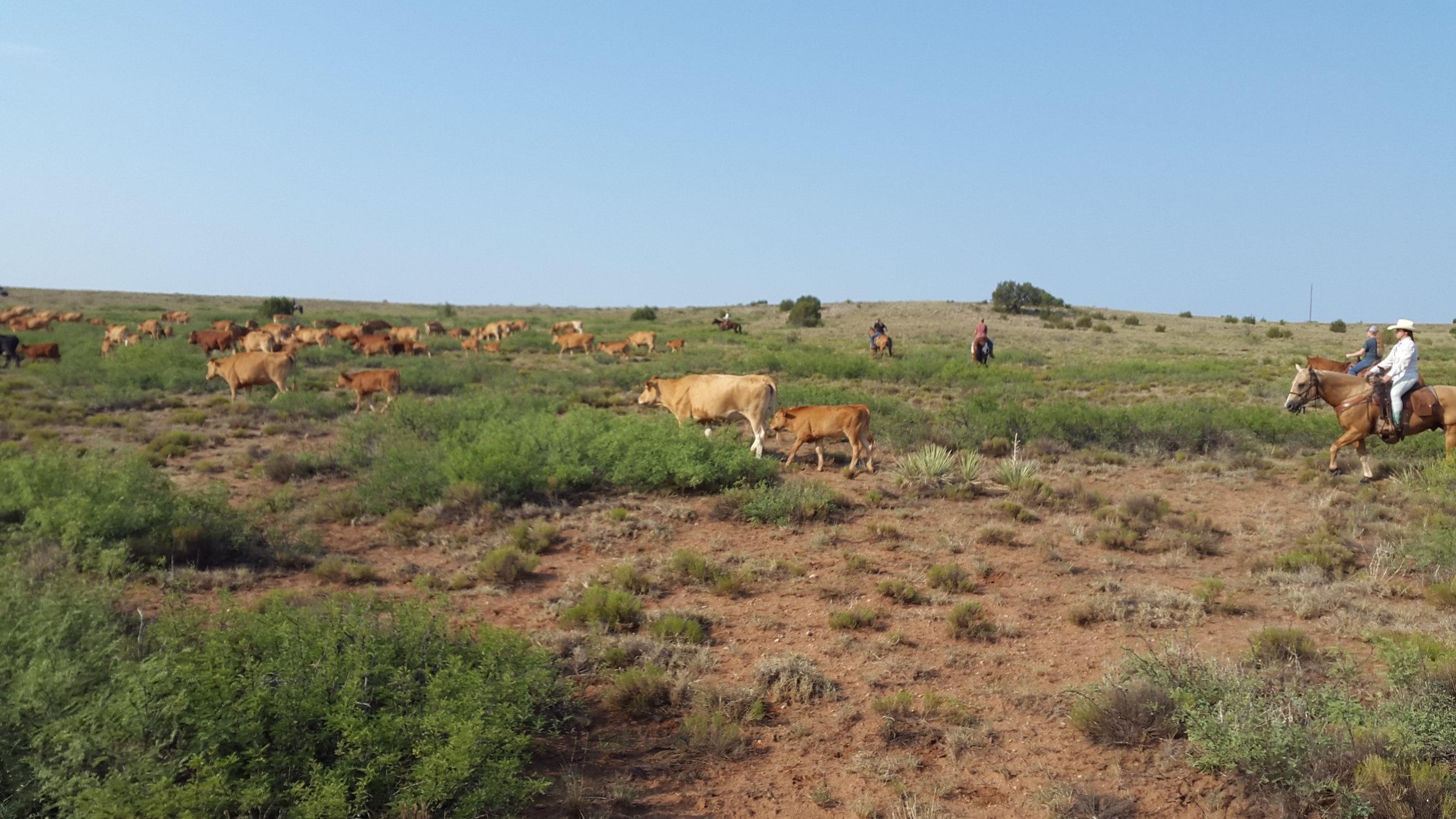 One day later we helped family Robbins again gathering cattle - this time Akaushi cattle (also called Japanese Brown).  Einen Tag später haben wir alle erneut Familie Robbins geholfen Rinder einzutreiben - diesmal Akaushi Rinder (auch Japanese Brown genannt).