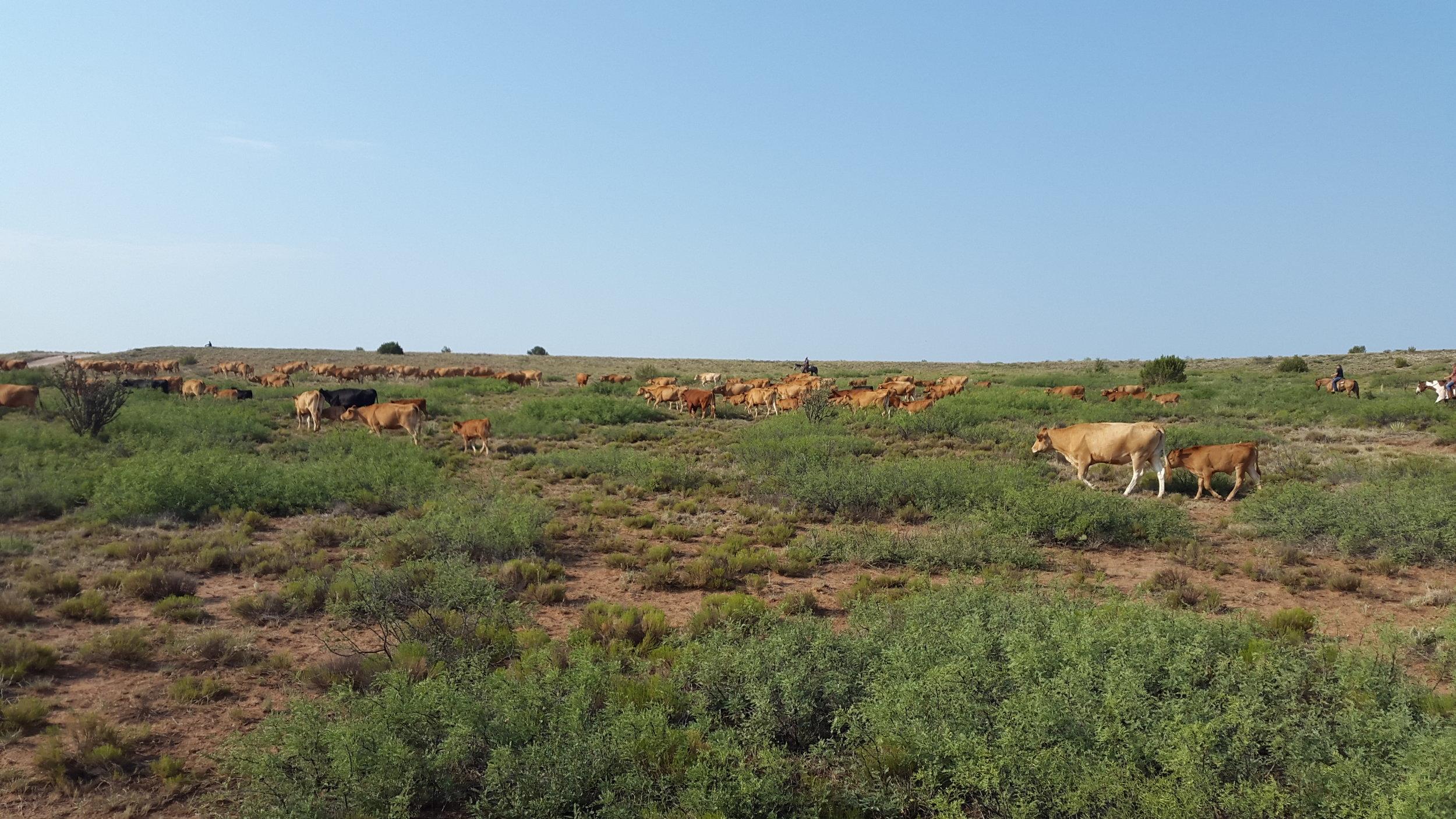 I can´t recall the number, but there were a lot of cows ;-)  Ich weiss die Anzahl der Kühe nicht mehr, aber es waren eine Menge ;-)